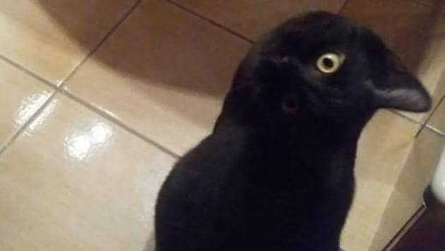 What do you see - a crow or a cat?(Twitter/Robert Maguire)