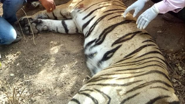 After the arrest of two accused in the poaching of Tigress ST-5, the Sariska Tiger Reserve (STR) administration has suspended three employees.(HT File Photo)