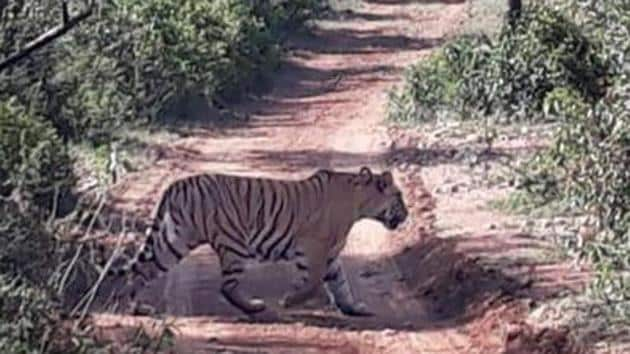 The tiger is India's national animal and is categorised as a 'Schedule One' species of endangered animals under the Wildlife Protection Act.(HT File Photo/Representative image)