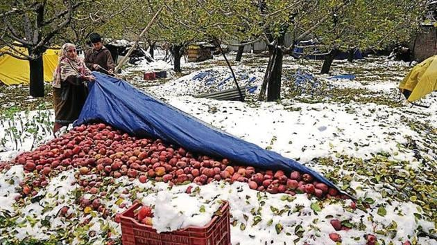 A woman shows apples that had fallen after heavy snowfall on Saturday.(Waseem Andrabi/ HT Phot)