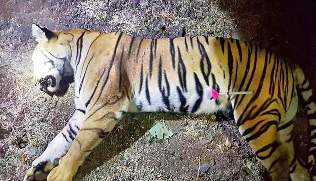 This handout photo released by the Maharashtra Forest Department on November 3, 2018 shows the dead body of the tiger known to hunters as T1 after being shot in the forests of India's Maharashtra state near Yavatmal. Avni, a man-eating tigeress that claimed more than a dozen victims in two years has been shot dead, sparking controversy over the legality of its killing.(AFP)