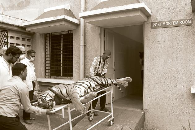 The hunting of the tigress Avni displayed all that was wrong with tiger tracking(AFP)
