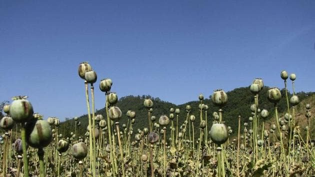 This file photo taken on April 11, 2017 shows Afghan farmers harvesting opium sap from a poppy field in the Gereshk district of Helmand.(AFP/Representative)