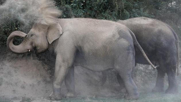<p>An elephant sprays dust outside the Wildlife SOS Elephant Hospital in Mathura. The facility, which opened last week is India&rsquo;s first hospital for...