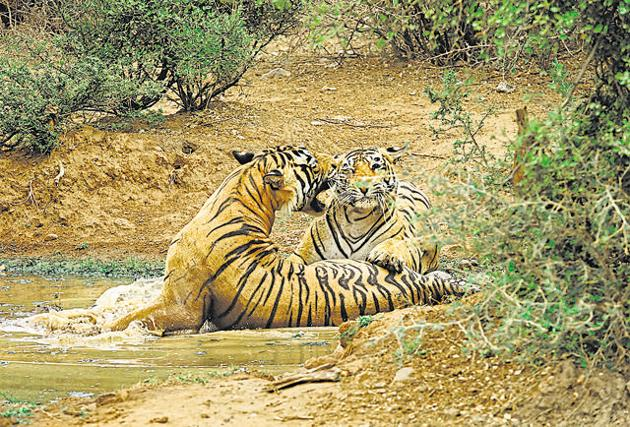A tiger couple fondle by rubbing heads, cheeks and the flanks of their bodies, as the tigress encourages the tiger to mate.(Photo by Valmik Thapar, from his book The Sex Life Of Tigers)