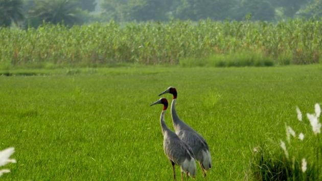 A pair of sarus cranes near Noida. The forest department is determining the number of sarus cranes in Jewar. Officials said that Surajpur and Dhanauri wetlands host over 200 sarus cranes.(HT Photo)