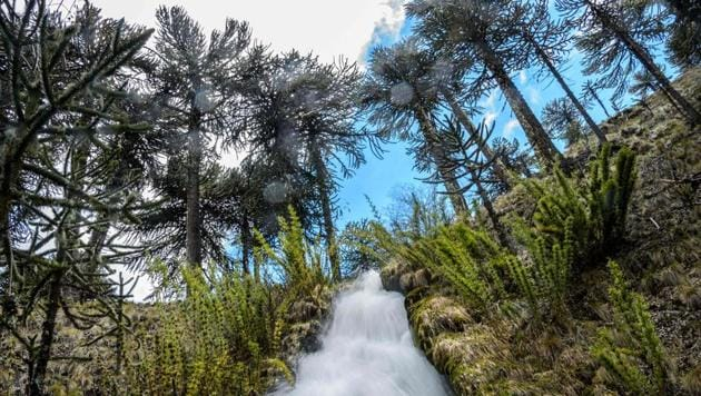 <p>Araucaria trees are seen at Conguillio National Park in Temuco, Chile. In Quinquen, an indigenous community is saving a forest of Chilean pine trees -- the...
