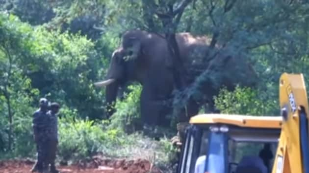 A 30-year-old wild jumbo, locally called as 'Vinayaka', was captured and relocated to Mudumalai forest range in Coimbatore. The wild tusker has so far killed four persons in the outskirts of Coimbatore. He was captured by the Coimbatore forest department using four trained Kumki elephants.