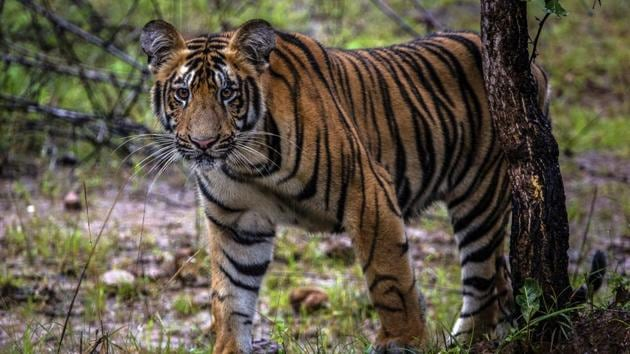 According to local forest and administrative officials, villagers have sighted the tigresses at 27 places in the past three months(HT File)