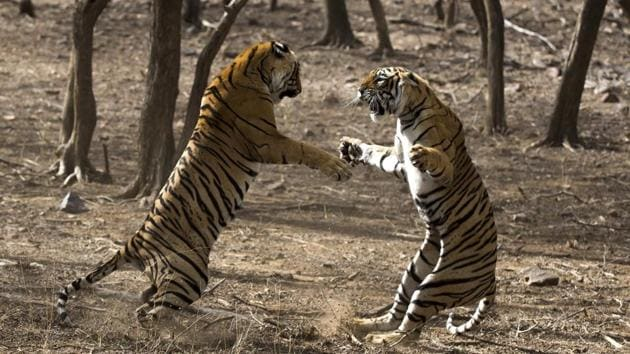 The highlight of the film festival will be the film 'Clash of Tigers', which will hold its India premier at Balgandharva Rangmandir on January 3 at 6pm.(HT PHOTO)