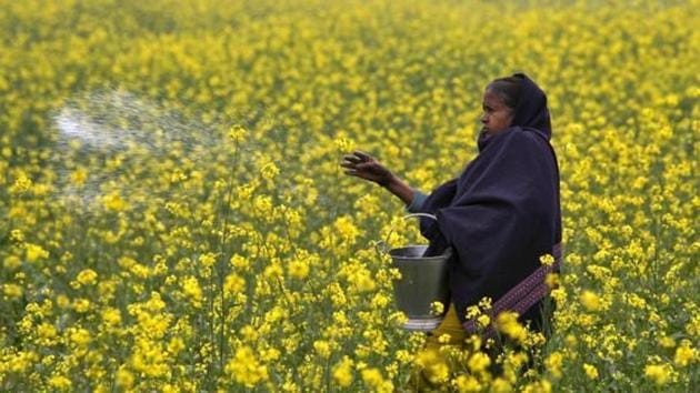 A farmer casts urea on her mustard field.(REUTERS)