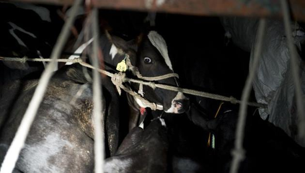 A farmer and his family in Sheopur district of Madhya Pradesh, 402 km north of Bhopal, have been ostracised from their village after the death of a cow in an accident on Tuesday, official sources said.(AFP PHOTO)