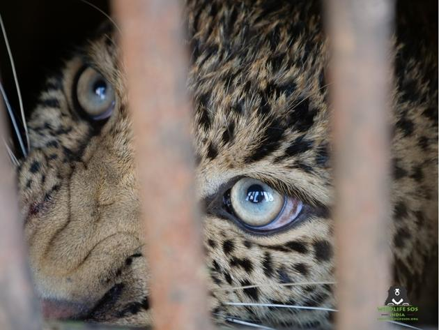 Unnatural deaths of leopards in India increased from 118 in 2014 to 159 in 2017(Wildlife SOS)