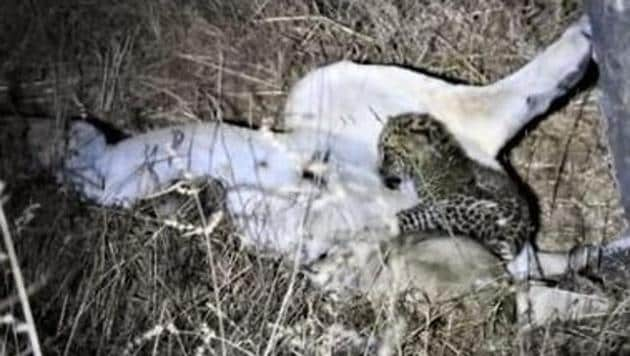 This unusual bonding between a lioness and a leopard cub was first spotted by forest staff around six days ago.(Twitter/@DCFGirEastDhari)