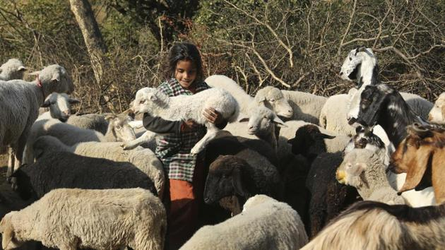 The Merino sheep will be brought from Australia to Delhi first and then transported to Uttarakhnd where it will be kept in Government Sheep Breeding Farm in Ghansali, Tehri.(AP File / Photo used for representational purpose)