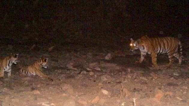 File photo of tigress Avni or T-1 along with her cubs before she was killed in Yavatmal on November 2, 2018.(HT File)