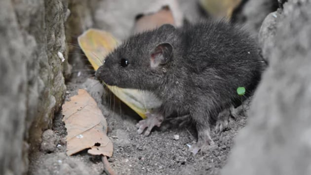 Groups of mice sent aboard the International Space Station (ISS) may help better understand the process of ageing in space and on Earth, according to NASA.(File Photo)