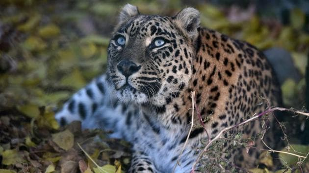 A leopard killed a three-year-old girl after snatching her from her mother's lap in a tea garden in West Bengal's Alipurduar district. It was the third case of a child being killed in the area by a leopard since December 12. (File Photo)(AFP)