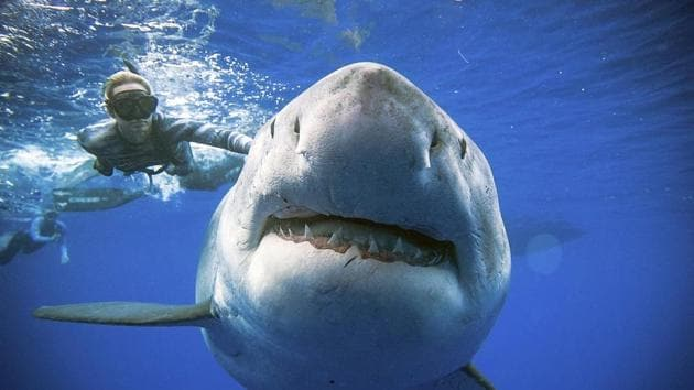 An enormous great white shark -- believed to be one of the biggest on record -- has been spotted off the coast of Hawaii.(AP)