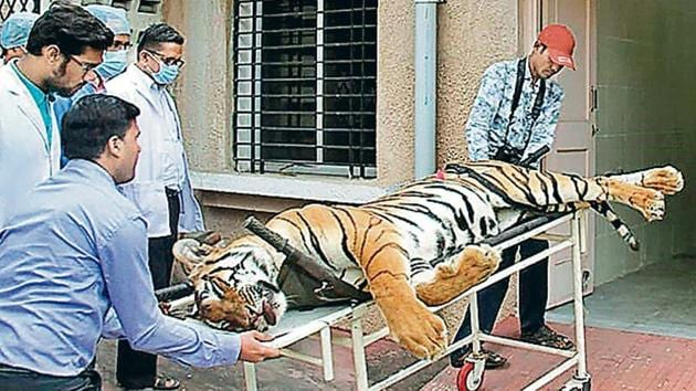 Avni was shot dead in Ralegaon taluka of Yavatmal district on November 2 by Asghar Ali Khan after a months-long search in which 200 hunters were deployed. The big cat was accused of killing 13 people and labelled a problem tigress.(File Photo)