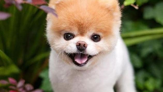 """Boo, the world's cutest dog, has died of a """"broken heart"""", his owners have confirmed.(Instagram)"""