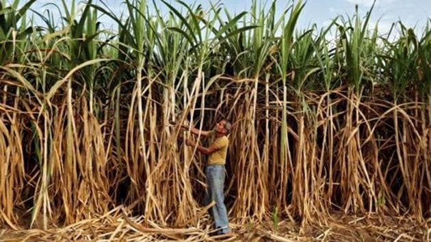 A farmer works in his sugarcane field on the outskirts of Ahmedabad.(Reuters/Representative image)