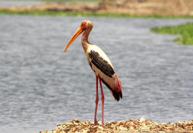 Near Threatened Painted Stork seen at the sanctuary.(HT/PHOTO)