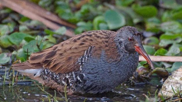 The water rail bird comes to Basai every winter.(Photo Credit: Abhishek Gulshan)