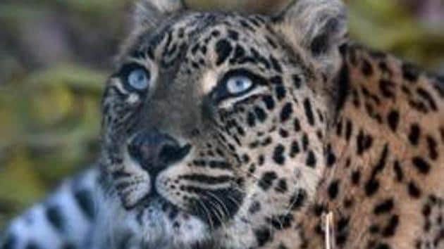 In this file photo taken on November 9, 2017 a leopard rests at the Dachigam National Park outside Srinagar.(AFP/Representative Image)