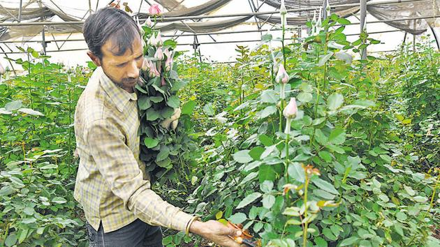 A man picks roses at a plantation in Maval which is a major floriculture hub for cultivation of export quality flowers in Pune.(HT PHOTO)
