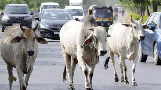 Stray cows seen in the middle of roads at Sector 44, Noida, Uttar Pradesh. (Photo by Sunil Ghosh / Hindustan Times)(HT Photo)