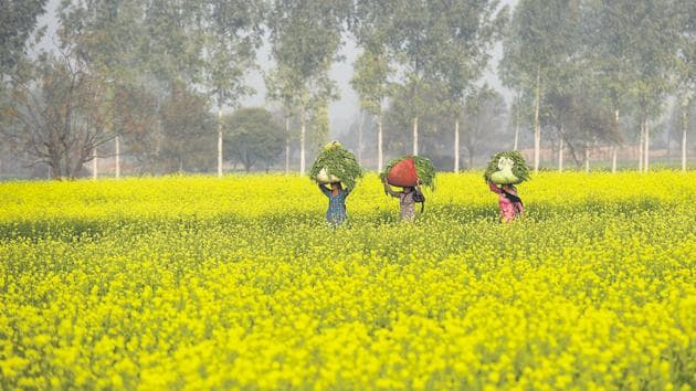 Mustard fields in Haryana. The fields of Punjab and Haryana are popular shooting locations for Bollywood films.(Burhaan Kinu/HT PHOTO)