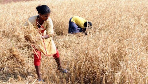Paddy farmers harvesting the paddy crop after poor produce at Nagri village under Kanke block in Ranchi, India, on Sunday, November 18, 2018. Image for representation.(Diwakar Prasad/ Hindustan Times)