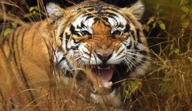 Wildlife experts say that Madhya Pradesh has the potential to have more tigers and better quality wildlife tourism. To ensure that, the forest department needs more staff, including senior officials who are interested in wildlife management.(HT File Photo)