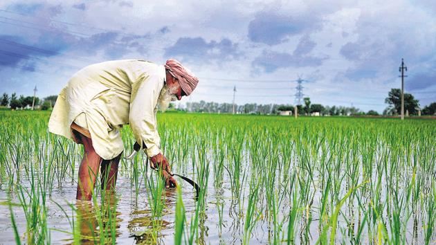 A farmer working in his paddy field at Bothgarh outskirts of Morinda town on Ludhiana road 30kms from Chandigarh.(HT File Photo)