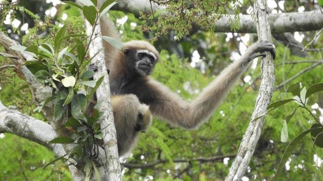 A female Hoolock Gibbon. It is estimated that only about 3,000 Western Hoolock gibbons are left in northeast India today.(Pragyan Sharma/WCS India)