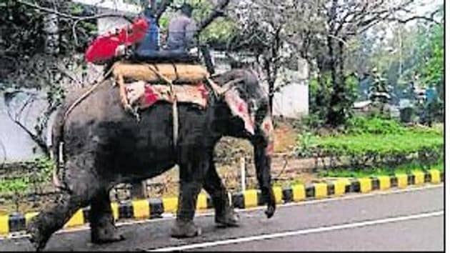 Having run out of options, Delhi government's forest department is searching for a shelter to house Lakshmi, one of the national capital's three remaining elephants, who has been diagnosed with herpes — a zoonotic viral disease.(HT Photo)