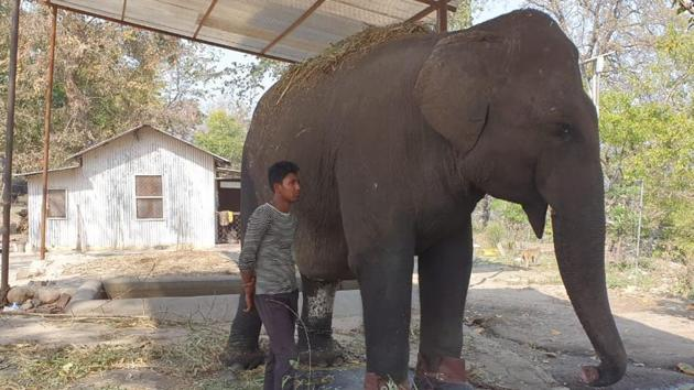 The toe nail of the 55-year-old elephant has been capped to avoid further infection.(HT Photo)