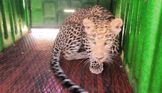 The leopard was identified as a two-year-old male and was safely tranquillised.(HT Photo)