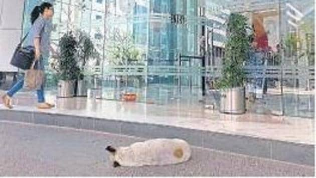 A dog snoozing outside one of the grand lobbies in Gurugram's Cyber City.(HT Photo)