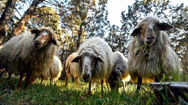 Sheep graze at the Casa de Campo park in Madrid.(AFP)