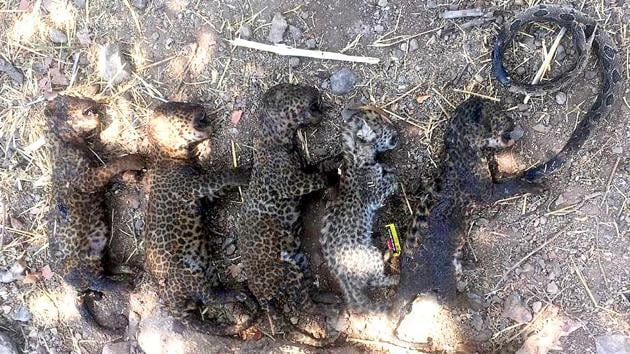5 leopard cubs die in farm waste fire to kill a snake(HT Photo)