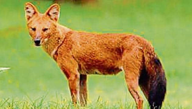 A Bengaluru-based study found that the dhole is prone to local extinctions in 37,000 square km surveyed across Western Ghats.(HT Photo)