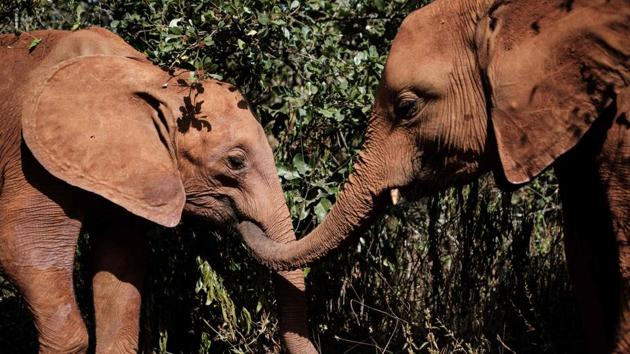 Orphan elephants play at the David Sheldrick Wildlife Trust (DSWT) elephant orphanage in Nairobi, Kenya on March 12, 2019. - Each calf at the nursery has a tragic story: orphaned by poachers, drought, or in conflict with humans encroaching ever further into the few wild places left. Elephants stay for about three years at the orphanage, where they are fed every three hours and sleep in individual wooden pens, each with a keeper. In 42 years, the trust has rehabilitated more than 230 orphan elephants. (Photo by Yasuyoshi CHIBA / AFP)(AFP)