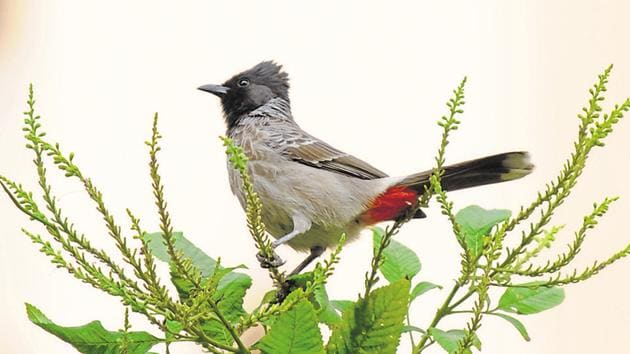 Among the regular birds sighted in the city's parks and quieter avenues is the red-whiskered bulbul.(HT File Photo)