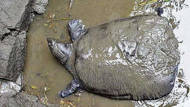 The only known female Yangtze giant softshell turtle who died at the Suzhou zoo in China on Monday.(VCG/ Getty/File Photo)