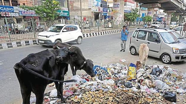 Stray cattle feast on garbage left uncleared on Najafgarh road.(HT Photo)