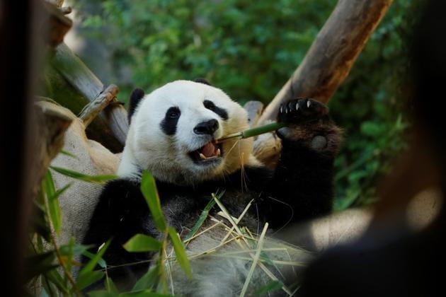Is a sad-eyed panda really worth saving more than a slimy salamander? (Representational image)(REUTERS/Mike Blake)