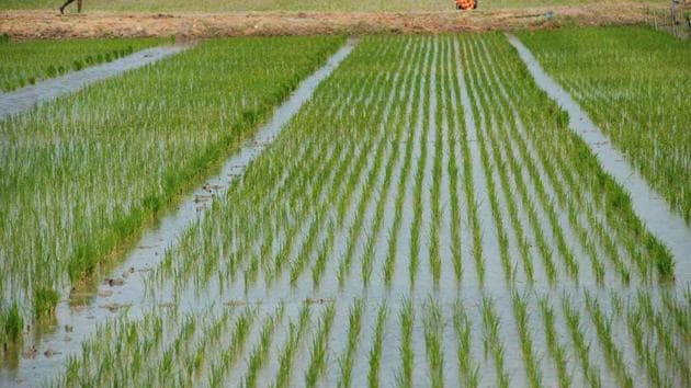 This short grain variety of rice develops seeds within 60-70 days of sowing which makes it suitable for cultivation in summers i.e from April-June.(Representative image)