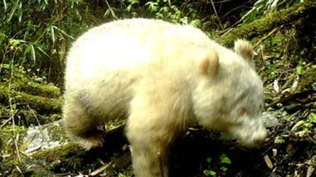 A rare all-white panda has been caught on camera at a nature reserve in southwest China, showing albinism exists among wild pandas in the region(China Xinhua News/Twitter)